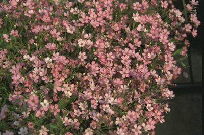 Kruipend gipskruid - Gypsophila repens 'Rosa Schönheit'