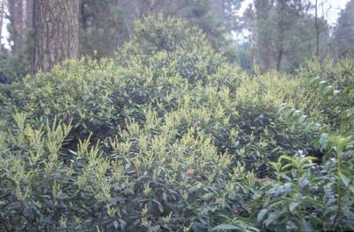 Rotsheide - Pieris floribunda