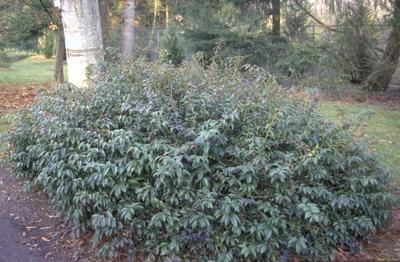 Druifheide - Leucothoe walteri