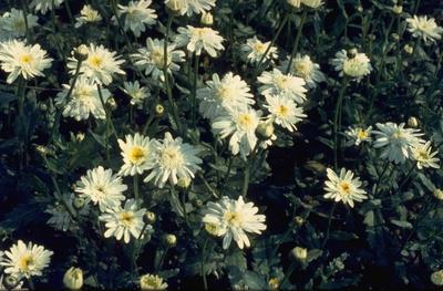 Margriet - Leucanthemum 'Wirral Supreme'