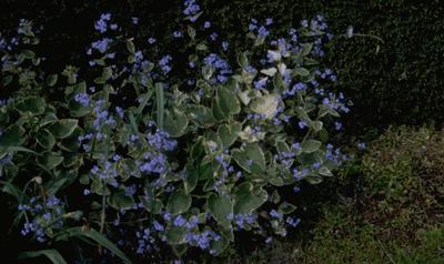 Kaukasische vergeet mij niet - Brunnera macrophylla 'Hadspen Cream'