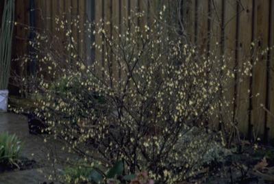 Schijnhazelaar - Corylopsis pauciflora