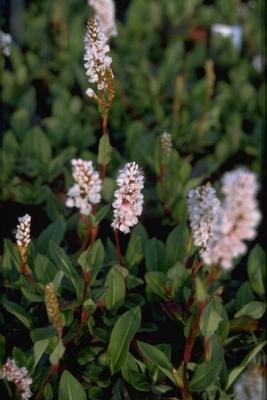 Duizendknoop Persicaria affinis