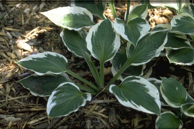 Hartlelie - Hosta 'Patriot'