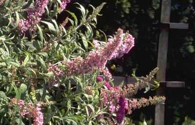 Vlinderstruik - Buddleja davidii 'Ile de France'