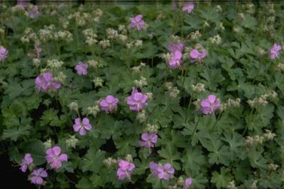 Ooievaarsbek - Geranium x cantabrigiense 'Andrew Clarke'