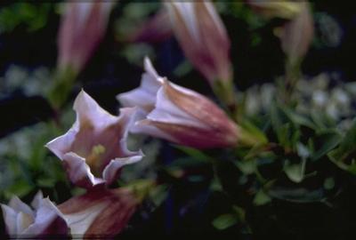 Stengelloze gentiaan - Gentiana acaulis 'Alboviolacea'