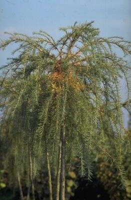 Japanse larix - Larix kaempferi 'Pendula'