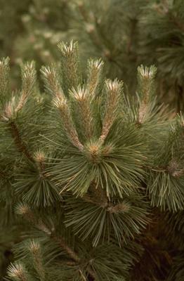 Pinus nigra 'Strypemonde'