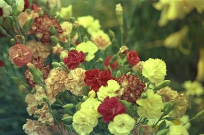 Tuinanjer - Dianthus caryophyllus 'Wenerdwerg'