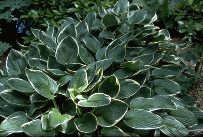 Hartlelie - Hosta 'Green Gold'