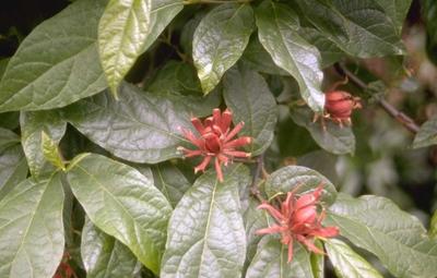 Calycanthus floridus var. laevigatus