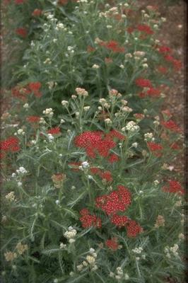 Gewoon duizendblad - Achillea millefolium 'Summerwine'