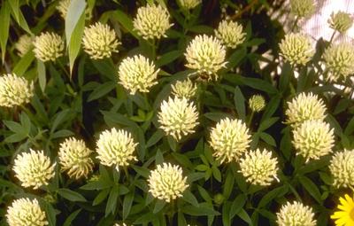 Klaver - Trifolium ochroleucon