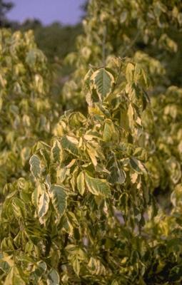 Vederesdoorn - Acer negundo 'Aureomarginatum'