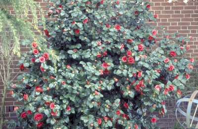 Camelia - Camellia japonica 'Matthotiana'