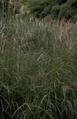 Prachtriet - Miscanthus sinensis 'Gewitterwolke'