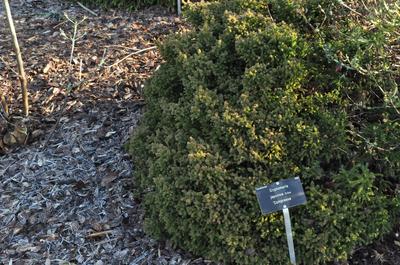Japanse cipres - Cryptomeria japonica 'Compressa'