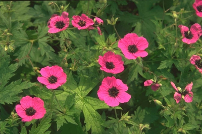Ooievaarsbek - Geranium psilostemon 'Bressingham Flair'