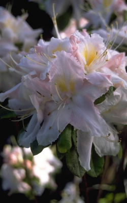 Rododendron - Rhododendron 'Apple Blossom'
