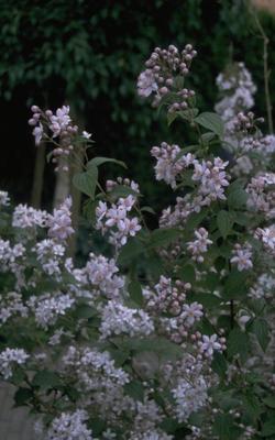 Bruidsbloem - Deutzia x hybrida 'Mont Rose'