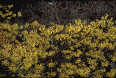 Toverhazelaar - Hamamelis x intermedia 'Pallida'