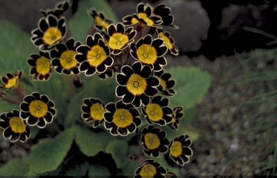 Sleutelbloem - Primula Gold Lace Hybrids