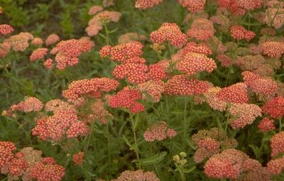 Gewoon duizendblad - Achillea millefolium 'Fanal'