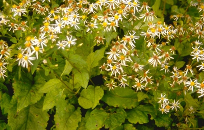 Grootbladige Aster Macrophyllus