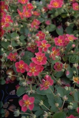Aardbei - Fragaria 'Red Ruby'