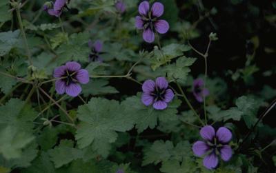 Ooievaarsbek - Geranium 'Salom