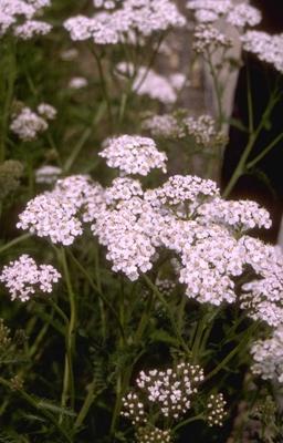 Gewoon duizendblad - Achillea millefolium 'White Beauty'