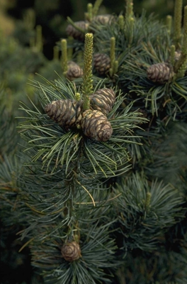 Japanse witte den - Pinus parviflora 'Glauca'