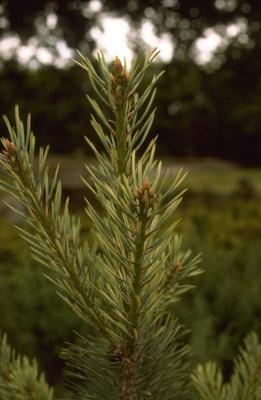 Pinus sylvestris 'Inverleith'