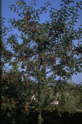 Sierappel - Malus 'Red Sentinel'