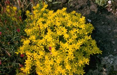 Muurpeper - Sedum acre 'Yellow Queen'