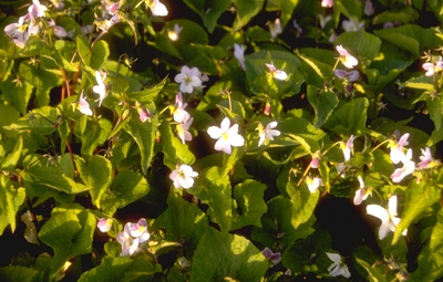 Viooltje - Viola canadensis