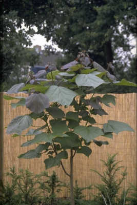 Trompetboom - Catalpa x erubescens 'Purpurea'