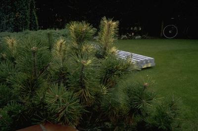 Pinus mugo 'De Lutte'