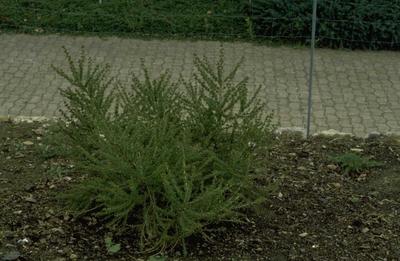 Europese larix - Larix decidua 'Kornik'