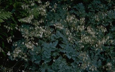 Gebroken hartje - Dicentra 'Langtrees'
