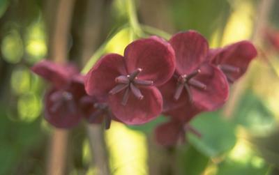 Chocoladewingerd - Akebia quinata
