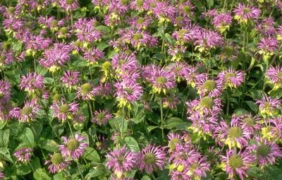 Bergamotplant - Monarda 'Prarienacht'
