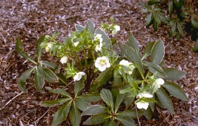 Oosters nieskruid - helleborus orientalis 'Alba'