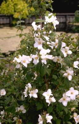 Boerenjasmijn - Philadelphus 'Belle Etoile'
