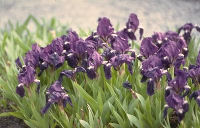 Lis - Iris 'Atroviolacea'