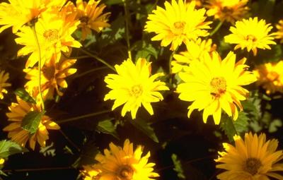 Zonneoog - Heliopsis helianthoides 'Spitzentänzerin'
