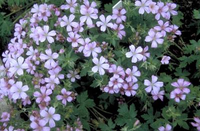 Ooievaarsbek - Geranium x oxonianum 'Wageningen'