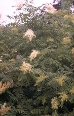 Lijsterbesspirea - Sorbaria sorbifolia