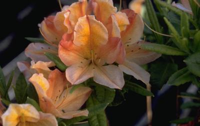 Rododendron - Rhododendron 'Koningin Emma'